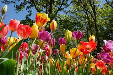 Tulpenpracht. van Carola van Rooy