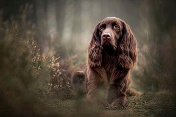 Deutscher stehender langhaariger Hund in der Heide liegend von Lotte van Alderen