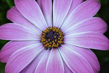 OSTEOSPERMUM Cape Daisy van Marchetti Fotografie