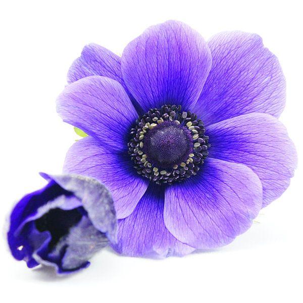 anemonen in het blauw