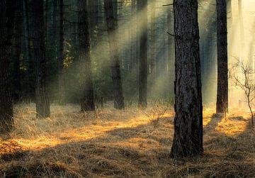 Licht durch die Bäume in einem belgischen Naturgebiet von Jos Pannekoek