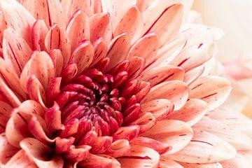 hart roze Dahlia van Annet Niewold