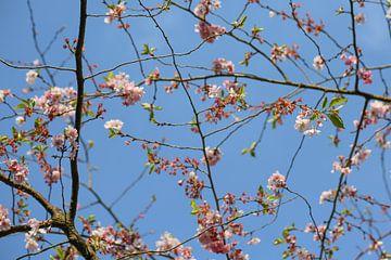 Roze bloesem aan takken tegen blauwe lucht van Sylka Mannaert