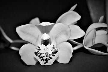 weiße Orchidee von Heidi Pype