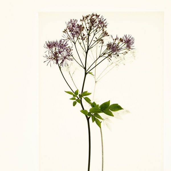Botanica IV Thalictrum van Niek van Schie