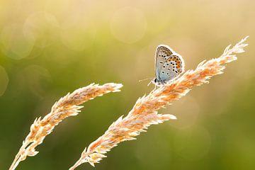 Heideblauwtje von Aukje Ploeg