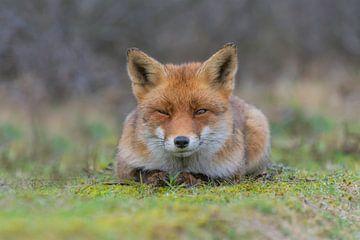 Grumpy fox van Anna Stelloo