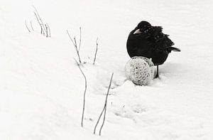 Merel in winterlandschap