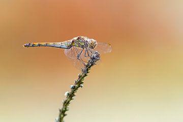 Libellen von Heiko Lehmann