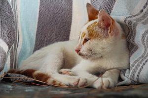 Türkische Katze