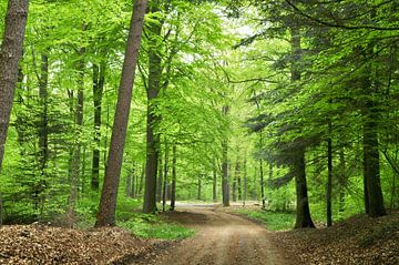 Bos met Beuken in het voorjaar van Corinne Welp