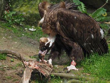 Monniksgier : Ouwehands Dierenpark van Loek Lobel