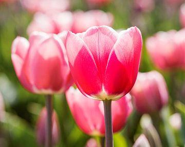 Tulpen uit Nederland van Hamperium Photography