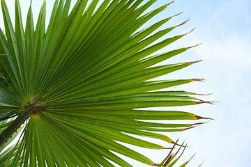 Grünes Palmenblatt von unten gegen den blauen Himmel mit Wolken, Naturhintergrund, Kopierraum, gewäh von Maren Winter