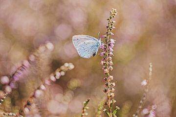 Boomblauwtje op de bloeiende heide van Roosmarijn Bruijns