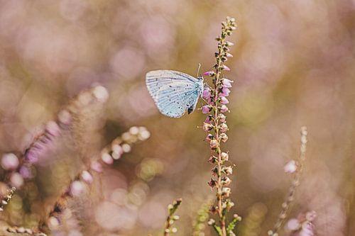 Boomblauwtje op de bloeiende heide