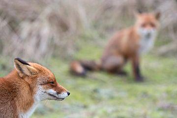 Ein Fuchs ( Vulpes vulpes ) und noch ein zweiter Fuchs... von wunderbare Erde