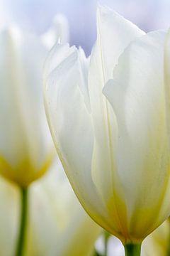 Witte tulp van Arjan van der Beek
