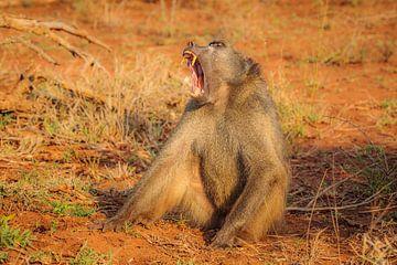 Gähnender Bärenpavian im Morgenlicht von Chris Stenger