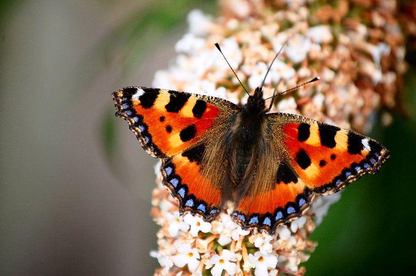 Dagpauwoog vlinder  van Edwin Teuben