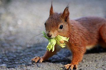Eichhörnchen mit Haselnuss von cuhle-fotos