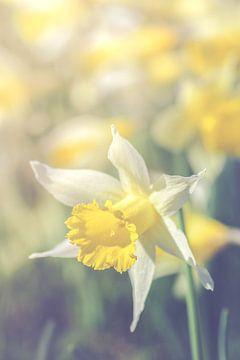 Narcissus (daffodil) sur Alessia Peviani