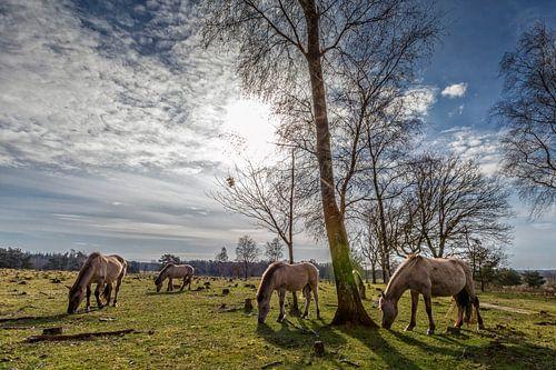 Konikspaarden in het Utrechts Landschap
