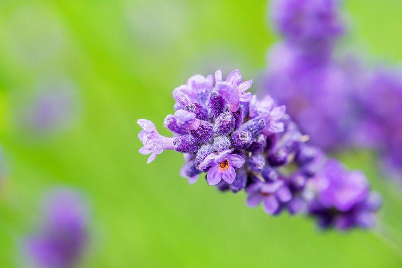 Lavendel van Harrie Muis