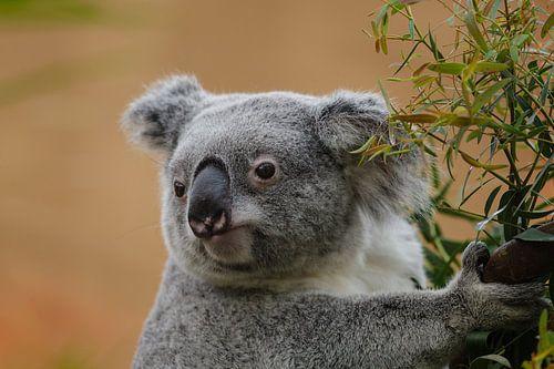 Koala kijkt nieuwsgierig rond van