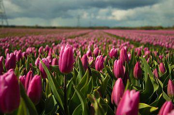 Tulpen auf dem Feld von Robert Snoek