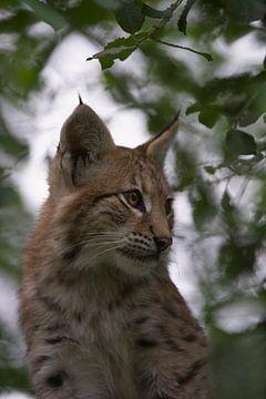 Luchs / Eurasischer Luchs ( Lynx lynx ) , Porträt eines Jungtieres versteckt im Buschwerk, Europa. von wunderbare Erde