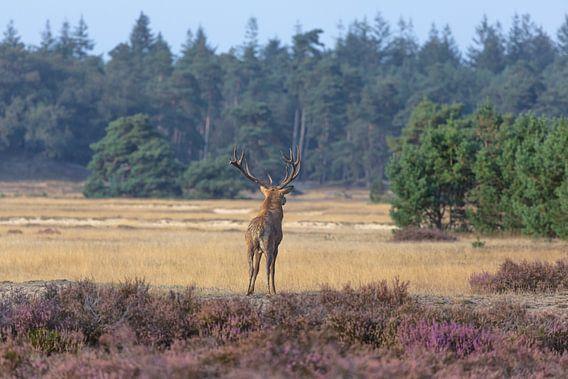 Edelhert kijkt over de vlakte van de Hoge Veluwe