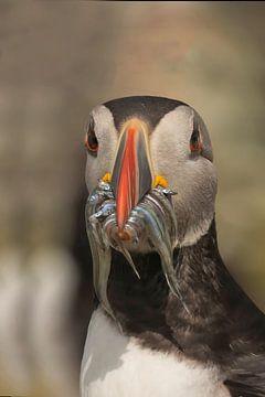 papegaaiduiker met vis von anja voorn