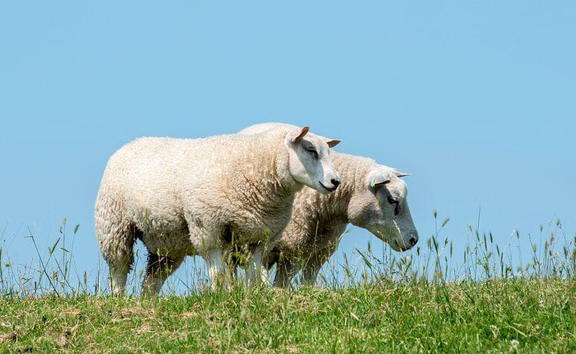 twee grazende schapen von Compuinfoto .