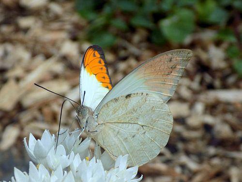 Hebomoia glaucippe - Tropische Vlinder ( Collectie 2018 ) van