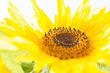 Niederländische Sonnenblume von Danielle Kramer