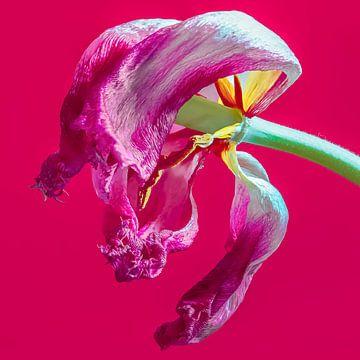 Tulpe von Jaap Spaans
