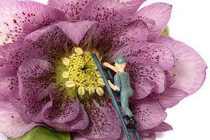 mannetje zorgt voor onderhoud van een bloem
