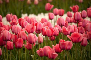 Feld mit rosa Tulpen, Niederlande von Peter Schickert