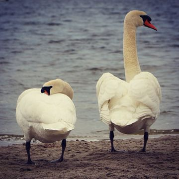 Beautiful swan couple posing for the camera, Netherlands van Daniel Chambers
