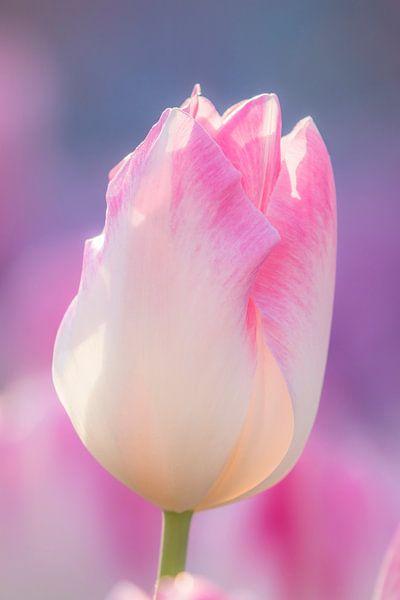 Pink Panter van Mascha Looije