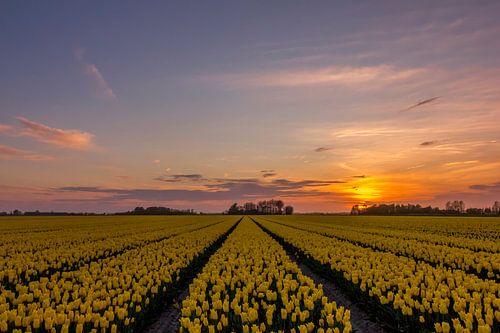 Schöner Sonnenuntergang über dem Tulpenfeld von