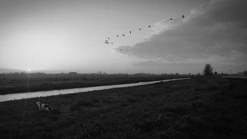 Kooikerhondje wijst ganzen de weg van Customvince | Vincent Arnoldussen
