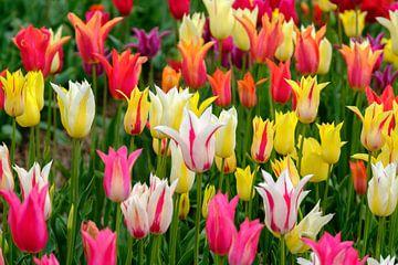 Kleurrijke tulpjes van Joke Beers-Blom