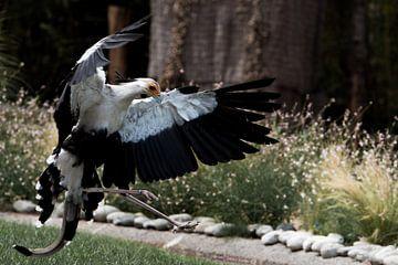 Dansende secretarisvogel van Peter van der Wal