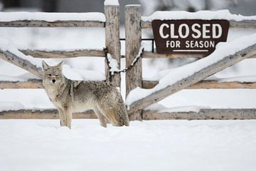 Coyote ( Canis latrans ) in winter, Yellowstone NP van wunderbare Erde