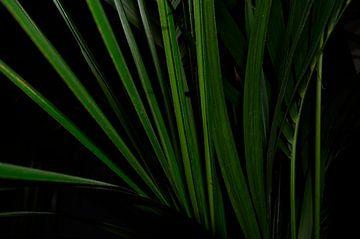 Kentia (Howea) Palm close-up abstract