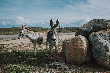 2 schattige ezels naast de weg in Aruba. van
