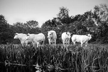 Fünf Kühe in einer Reihe in schwarz-weiß von Evelien Oerlemans