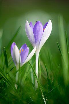 Purpurrote Krokusse im Frühjahr von Jessica Berendsen